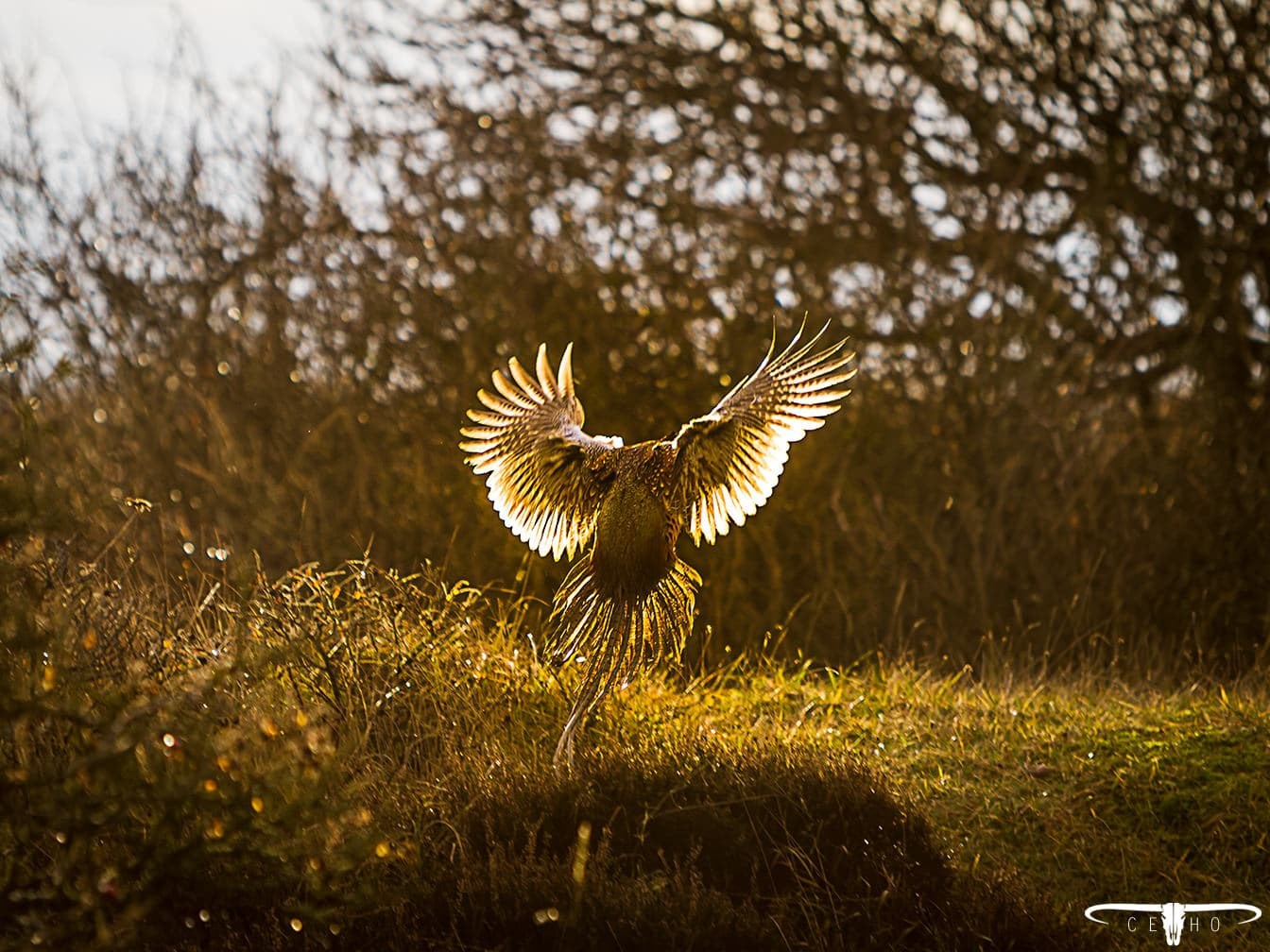 ceho-photography-pheasant